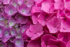 Foule colorée (colored crowd) (Larch) Tags: flower hortensia hydrangea rose pink violet purple nuance foule crowd curiosité curiosity shade colored coloured cantabria cantabrie santillanadelmar explore