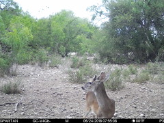 2018-06-24 07:55:08 - Crystal Creek 1 (Crystal Creek Bowhunting) Tags: crystal creek bowhunting trail cam
