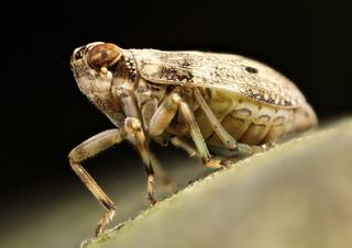 2018-06-25-Planthopper, Issus coleoptratus