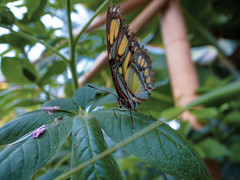 (Mr Richie) Tags: bugs horniman museum butterfly house insects