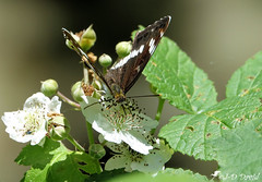 Le petit sylvain 1 (Jean-Daniel David) Tags: insecte insectevolant papillon lepetitsylvain bokeh fleur feuille feuillage vert blanc noir bouton closeup grosplan suisse suisseromande vaud