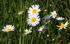 2018-05-11 (Giåm) Tags: condette pasdecalais nordpasdecalais hautsdefrance france frankrike frankreich frankrig giåm guillaumebavière daisies