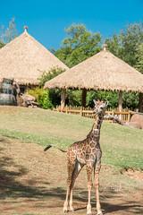 _MGL2099.jpg (shutterbugdancer) Tags: giraffe reticulatedgiraffe africansavanna fortworthzoo fortworth