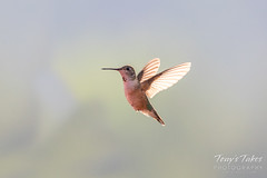 August 2, 2018 - A Hummingbird in flight. (Tony's Takes)