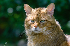 European wildcat (Mathias Appel) Tags: european wildcat felis silvestris europe germany deutschland europäische wildkatze bokeh cat katze eyes augen fur fell nikon d7100 sigma 100400mm chat forestier sauvage d'europe europese wilde kat