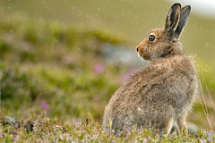 Mountain Hare (coopsphotomad) Tags: hare mammal mountain wildlife nature green brown colour hill grass moor fur look bokeh wild free british scotland canon 500mm f4 rain drama atmosphere hillside
