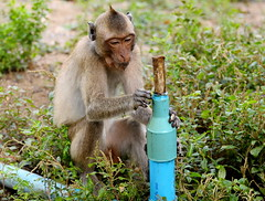 ,, Future Engineer ,, (Jon in Thailand) Tags: primate ape monkey drinkingfountain blue green pinhead jungle nikon nikkor d300 70300vr themonkeytemple monkeyears futureengineer waterdept wildlifephotography wildlife monkeyhands