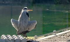 20180806-1902-46 (Don Oppedijk) Tags: vogelenzang noordholland nederland nl heron reiger cffaa awd amsterdamsewaterleidingduinen