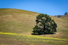 California Oak With Wild Mustard (CDay DaytimeStudios w/1,000,000 views) Tags: bluesky ca california eastbay hills mountdiablo mountdiablostatepark sanfranciscobayarea trees wildflowers wildmustard woodland