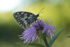 Demi-deuil mâle (Gisou68Fr) Tags: papillon butterfly demideuil mâle fleur flower centaurée pré meadow bokeh canoneos650d efs18135mmf3556isstm melanargiagalathea male