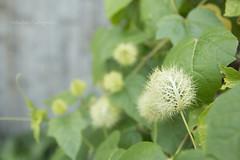stinking passionflower (fruits) (MikaJC) Tags: bbg vine plants passionfruit softhair letup buahletup stinkingpassionflower passiflorafoetida wildpassionfruit bushpassionfruit maryamarya