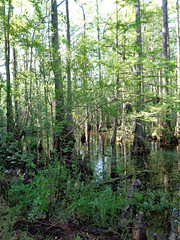 Jacob Swamp. (dccradio) Tags: lumberton nc northcarolina robesoncounty outdoor outdoors outside swamp swampland jacobswamp lutherbrittpark park citypark sky woods wooded forest tree trees foliage greenery leaf leaves plant plants nature natural water bodyofwater swampwater treetrunks treebranch branch branches treebranches treelimb treelimbs sony cybershot dscw830