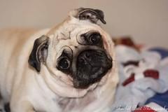 Pug life (RBestShot) Tags: pug pets dog petportrait hornsea yorkshire northyorkshire scarborough animals