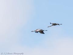 Common crane (ian._harris) Tags: august rspb naturaleza natural sigma d7200 nature naturephotography summer somerset 500f45