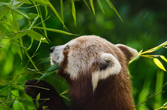 2018-08-04 (silare) Tags: picking eating nibbling chewing bamboo tree leaves food nom hungry branch mealtime candid carson redpanda firefox ailurusfulgens endangered animal woodlandparkzoo zoo phinneyridge seattle washington