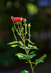 """1-flowers-DSC05111-LR6-md2 (John """"Igor S."""" Moffitt) Tags: konica ar 200mm f35"""