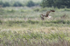 Marsh Harrier at Stodmarsh in Kent (Simon G Robinson) Tags: bird birds prey raptor raptors marsh harrier stodmarsh kent england feathers featheryfriday
