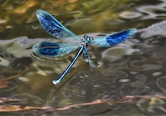 Banded Beauty in flight. (pstone646) Tags: damoiselle nature flight river water blue insect bandeddamoiselle beauty wings reflection animal kent fauna wildlife