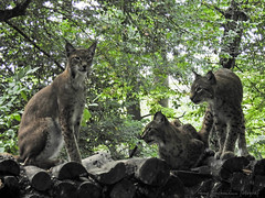 lynx1808141702-2 (opa guy) Tags: animaux continentsetpays domainesaintecroix europe france grandest lorraine moselle rhodes félins lynx