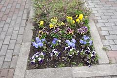 Pansy flowers (しまむー) Tags: sony cybershot dscrx100 carl zeiss variosonnar t 104371mm 28100mm f1849 菜の花 横浜町 yokohama town