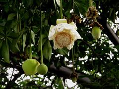 baobab tree (DOLCEVITALUX) Tags: baobab adansonia flora fauna tree trees fruit fruits lumixlx100 panasoniclumixlx100 panasoniccameras flower flowers philippines