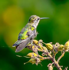 Out of the Nest. (Omygodtom) Tags: wildlife portrait annashummingbird baby outside nature natural bird bokeh nikon70300mmvrlens smugmug small tiny star diamond usgs usg oregon tannersprings