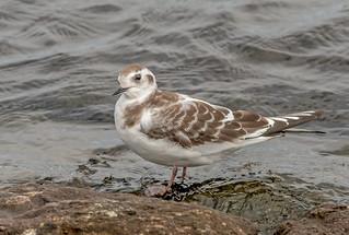 DSC0505  Little Gull...