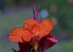 Flowers. (ost_jean) Tags: flowers mechelen vrijbroekpark nikon d5300 tamron sp 90mm f28 di vc usd macro 11 f004n ostjean belgium belgie belgique bokeh colors