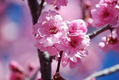 Sydney Cherry Blossom Festival, Auburn Botanical Gardens, 2018 (genericitis) Tags: