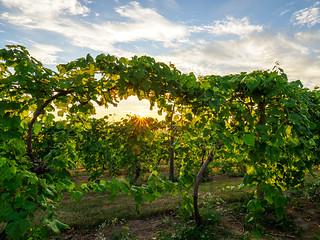 Sunset at Old Mission Peninsula Vineyard