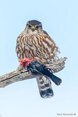 So I eat birds, get over it... (Earl Reinink) Tags: bird predator eat food cowbird falcon merlin nature outside outdoors wildlife earl reinink earlreinink zdrdiaadza