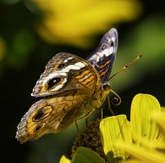 CommonBuckeye_SAF3805-3 (sara97) Tags: butterfly commonbuckeye copyright©2018saraannefinke insect missouri nature photobysaraannefinke saintlouis towergrovepark junoniacoenia