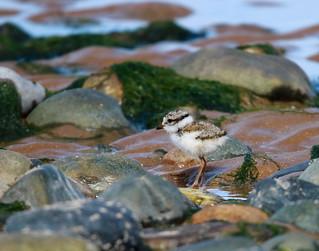 Ringed Plover chick (Charadrius haiticula)