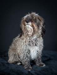 _MGL8852 (poloimages1) Tags: 2018 dogphotography fernando jackrussell poodle popupdogphotography princealbert