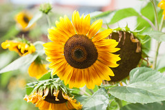 sunflowers (roook76) Tags: sunflowers agriculture beautiful bloom blossom botany bouquet bud farming field flora floral flower fresh garden green leaf nature petal plant spring summer