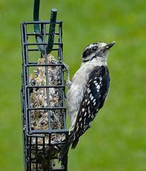 Downy Woodpecker male_21Jul2018 (Bob Vuxinic) Tags: bird cumberlandplateau crossvilletennessee downywoodpecker picoidespubescens male 21jul2018 suetfeeder