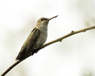 Black-chinned Hummingbird - fledgling