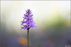 Hallelujah (Luciano Silei - sky7) Tags: dactylorhiza dactylorhizafuchsii wildorchid orchid bokeh nature closeup macro manualfocus oldlens vintagelens m42 canon7d zenit tair11a colors
