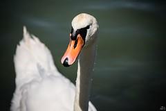 212/365 (misa_metz) Tags: nikon nature naturephotography animal swan photo photography hungary balaton sigma water lake lights