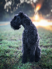 Cheam Park with Spencer (Martin Hesketh) Tags: martinhesketh spencer kerryblueterrier kerryblue kerry cheam cheampark sunrise iphone iphone8 iphonephotography dogs irishdogs