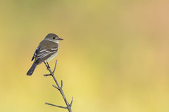 Willow Flycatcher (zeroskilz) Tags: mike timmons aba indiana bird nature popular tags fly willow flycatcher miketimmons