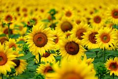 Tournesol (jpto_55) Tags: fleur tournesol xe1 fuji fujifilm fujixf55200mmf3548rlmois hautegaronne france