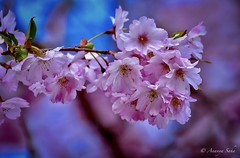 Sakura (Ananya Saha) Tags: nikon closeup shillong meghalaya genus prunus trees beautiful sakura nature flora yellow anthers green leaves pink petals blue black white seasonal floral cherry blossoms