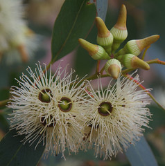 Eucalyptus occidentalis, Lake Monjingup, Esperance, WA, 31/03/18 (Russell Cumming) Tags: plant eucalyptus eucalyptusoccidentalis myrtaceae lakemonjingup esperance westernaustralia