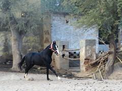 nawalgarh 2017 (gerben more) Tags: nawalgarh rajasthan horse india animal