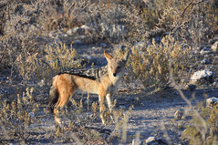 Black backed jackal / Sciacallo (Giulia La Torre) Tags: namibia africa nature wild travel traveling photography etosha national park etoshapark wildlife life fauna animali animals jackal sciacallo