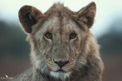 Male Lion Cub (pbmultimedia5) Tags: male lion cub serengeti national park animal feline wildlife pbmultimedia africa tanzania