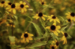 Lovely Susan (Southern Darlin') Tags: flowers flower blackeyedsusan wildflowers wild nature naturephotography photography photo overlay yellow green charming meadow garden canon