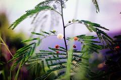 Molokai Wilderness (Minolta SRT 101) ({ chisomo }) Tags: molokai hawaii island pacific ocean small palm tree local friendly tourist beach beautiful pretty hotel resort camping halawa valley waterfall vacation 20 miles murphy make horse makehorse flowers swim 35mm film minolta