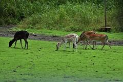 Fallow Deer_1710e (Porch Dog) Tags: 2018 garywhittington nikond750 nikkor200500mm wildlife nature kentucky lbl landbetweenthelakes betweentherivers fallowdeer